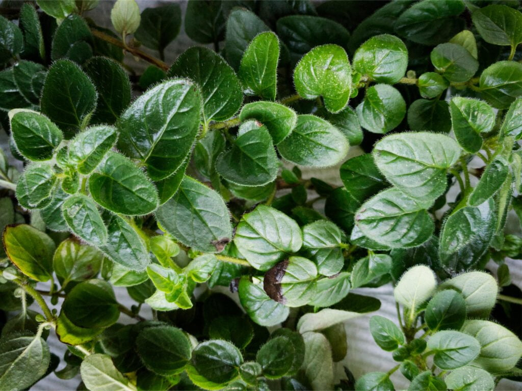 Close up of a branch of fresh oregano leaves